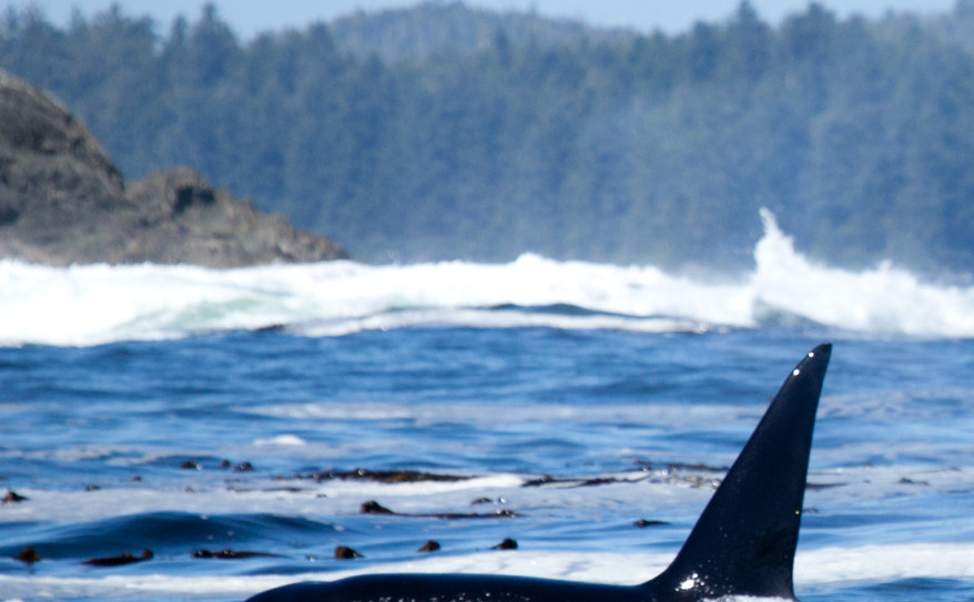 a stunning orca whale