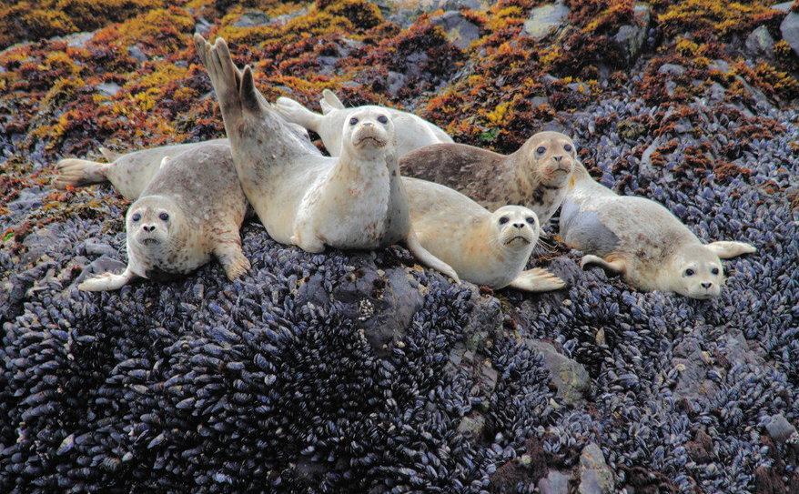 adorable harbor seal pups!