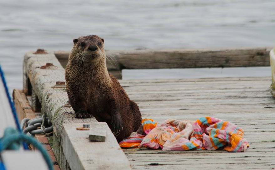 cute-as-a-button sea otter on our dock