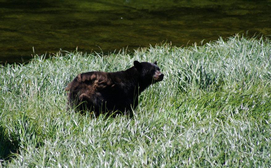 estuary bears, up close!