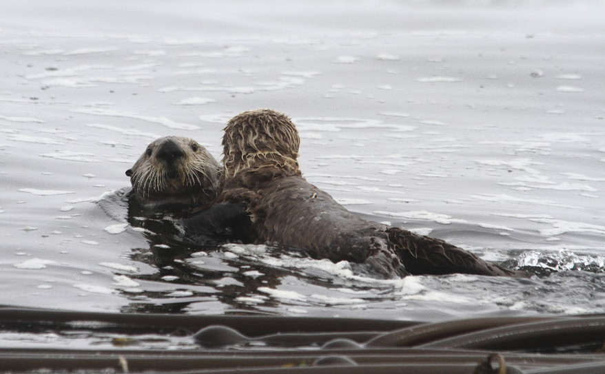 two sea otters in love!